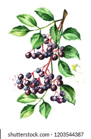 Elderberry branch. Watercolor hand drawn illustration, isolated on white background
