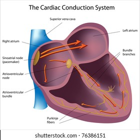 Electrical pathways of the heart