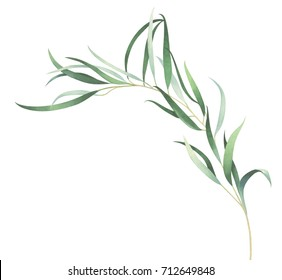 Elegant eucalyptus branch isolated on white background. Watercolor hand drawn illustration with space for text.