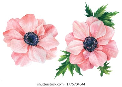 Elegant flowers on a white isolated background. Watercolor illustration, set of pink anemones.