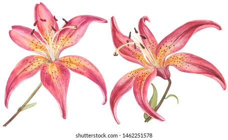 Elegant lilies, red and pink lily flowers on an isolated white background, watercolor illustration, collection, greeting card