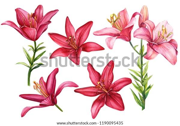 элегантные лилии, набор красных и розовых цветов на изолированном белом фоне, акварельная иллюстрация, коллекция, поздравительные открытки