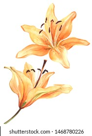 Elegant lily, orange lily flower on an isolated white background, watercolor illustration