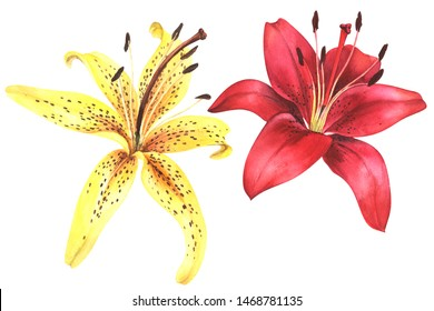 Elegant lily, yellow and red lily flower on an isolated white background, watercolor illustration