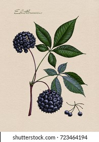 The Eleutherococcus branch with berries. Medicinal Herbs.