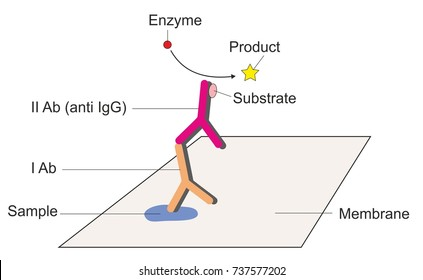 ELISA or an enzyme-linked immunosorbent assay is a laboratory test that uses antibodies and enzyme to identify a substance.
