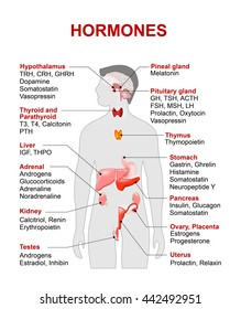 Endocrine gland and hormones. Human silhouette with highlighted red color internal organs.