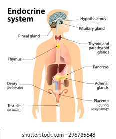 endocrine system. Human anatomy.  Human silhouette with highlighted internal organs.
