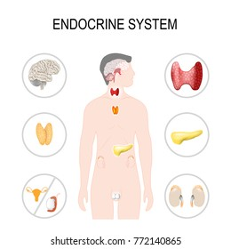 Endocrine system. illustration for your design and medical use. human anatomy.  silhouette of a man on white background. poster with internal organs on white background.