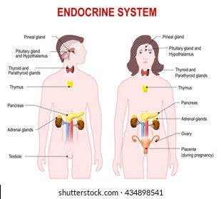 endocrine system. Man and woman silhouette with highlighted internal organs.