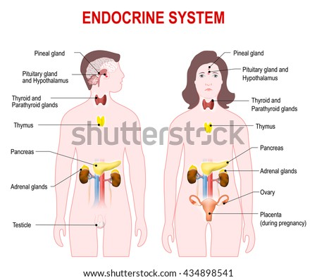 Endocrine System Man Woman Silhouette Highlighted Stock Illustration ...