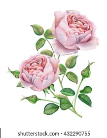English roses. Watercolor