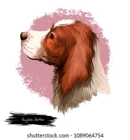 English Setter, Lawerack, Laverack, Llewellin Setter, Llewellyn Setter dog digital art illustration isolated on white background. England origin gun dog. Cute pet hand drawn portrait. Graphic clip art