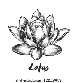 Engraved style illustration for posters, decoration and print. Hand drawn sketch of lotus in monochrome isolated on white background. Detailed vintage woodcut style drawing.
