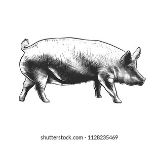 Engraved style illustration for posters, decoration and print. Hand drawn sketch of pig in monochrome isolated on white background. Detailed vintage woodcut style drawing.