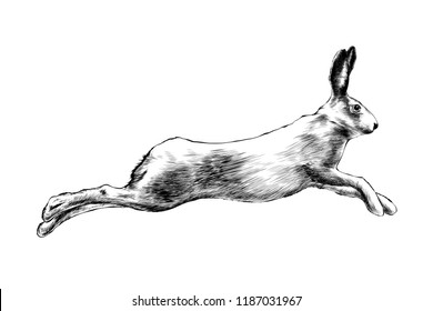 Engraved style illustration for posters, decoration and print. Hand drawn sketch of wild hare in black isolated on white background. Detailed vintage etching style drawing.