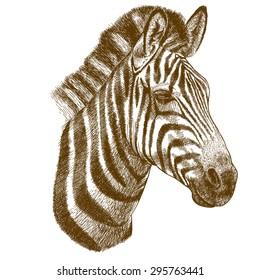 engraving antique illustration of zebra head isolated on white background
