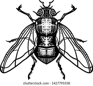 Engraving fly. Housefly illustration. Isolated on gray background. Hand drawn illustration. Black ink. Great for tattoos, t-shirt printing, for Halloween and more.