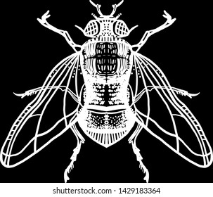 Engraving fly. Housefly illustration. Isolated on black background. Hand drawn illustration. Great for t-shirt printing, for Halloween and more.
