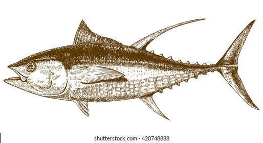 engraving illustration of highly detailed hand drawn tuna isolated on white background