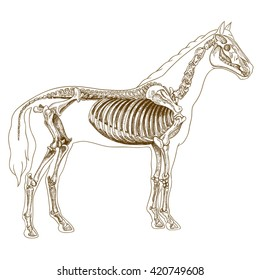 engraving  illustration of  highly detailed hand drawn skeleton of horse isolated on white background