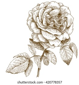 engraving illustration of highly detailed hand drawn rose isolated on white background
