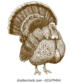 engraving illustration of highly detailed hand drawn  turkey isolated on white background