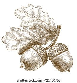 engraving illustration of highly detailed hand drawn acorn isolated on white background