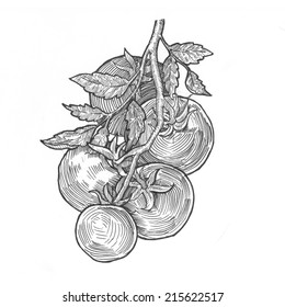 Engraving style hatching pen pencil painting illustration vegetables tomato collage image. Engrave hatch lithography drawing collection.