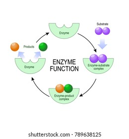 enzyme function. substrate, product, enzyme-product complex and enzyme-substrate complex. diagram for medical, educational and scientific use.