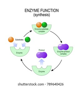 enzyme function. synthesis. substrate, product, enzyme-product complex and enzyme-substrate complex. diagram for medical, educational and scientific use.