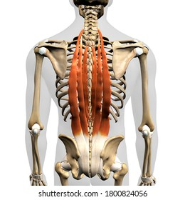 Erector Spinae Muscles in Isolation Rear View of Human Anatomy, 3D Rendering
