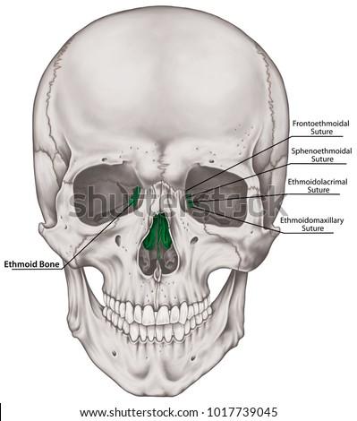 Ethmoid Bone Cranium Bones Head Skull Stock Illustration 1017739045