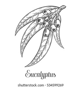 Eucalyptus plant, leaf, branch, berry. Hand drawn engraved sketch etch illustration. Ingredient for hair and body care cream, lotion, treatment, moisture. Eucalyptus isolated on white background
