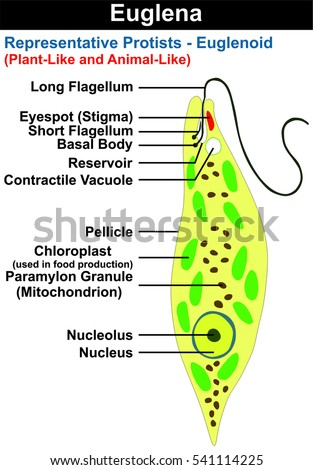 Euglena Diagram In English - Download Wiring Diagrams •