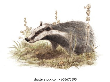 European badger (Meles meles) in its environment - white (no background)