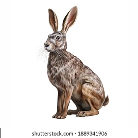 The European hare (Lepus europaeus) realistic drawing illustration for animal encyclopedia isolated image on white background