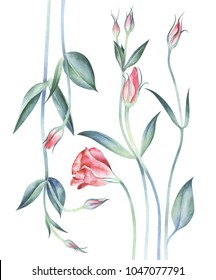 Eustoma flowers isolated on white background. Watercolor hand drawn illustration.