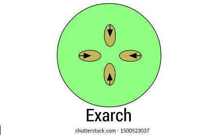 Exarch is the arrangement in which the proto xylem is directed towards the periphery and meta xylem towards the centre.Jul.