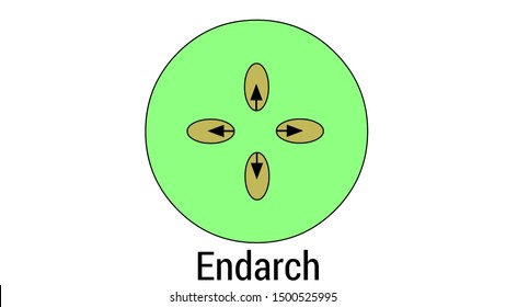 exarch is the arrangement in which the proto xylem is directed towards the periphery and meta xylem towards the centre.Jul