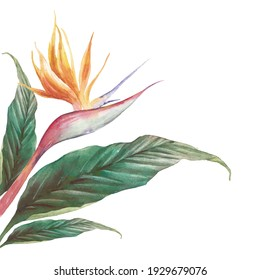 Exotic flower illustration on white background. Strelitzia royal and green leaves. Bird of Paradise plant card