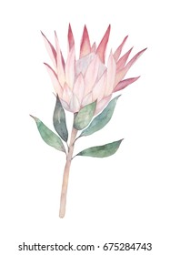 Exotic flower. Watercolor protea. Hand drawn illustration