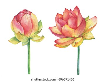 Exotic pink flowers Egyptian lotus symbol of India (water lily). Watercolor hand drawn painting illustration isolated on white background.