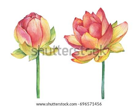 Exotic Pink Flowers Egyptian Lotus Symbol Stock Illustration