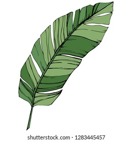 Exotic tropical hawaiian summer. Palm beach tree jungle botanical leaves. Green engraved ink art. Leaf plant botanical garden floral foliage. Isolated leaf illustration element.