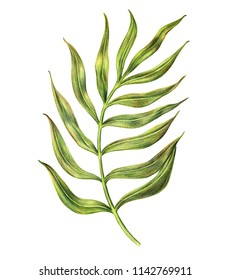 Exotic tropical leaf of areca palm with long stem and pinnate leaflets, hand-drawn with colored pencils, raster illustration isolated on white background. Hand drawing of areca palm leaf