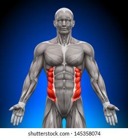 External Oblique - Anatomy Muscles