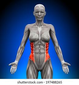 External Oblique - Female Anatomy Muscles