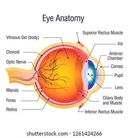 Eye anatomy info concept background. Cartoon illustration of eye anatomy info concept background for web design