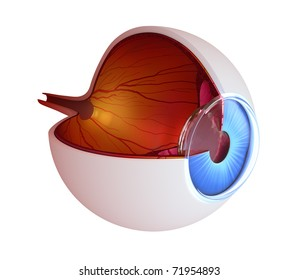 Eye anatomy - inner structure isolated on white